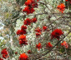 Floraison d'Erythrina lysistemon - Domaine du Rayol