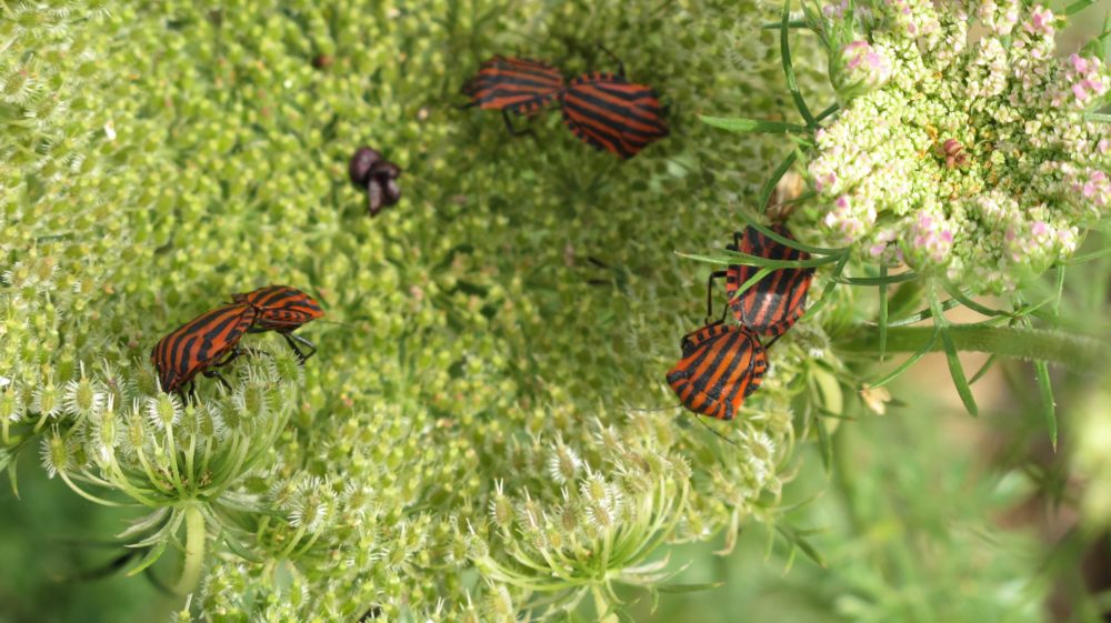Le conseil des jardiniers : les insectes piqueurs-suceurs