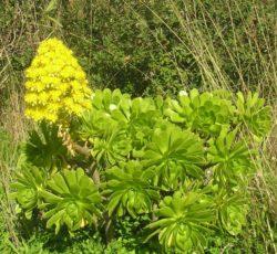 Aeonium-arboreum-domaine-du-rayol