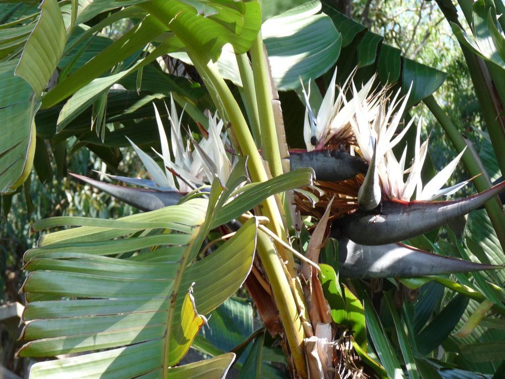La plante du mois : Strelitzia