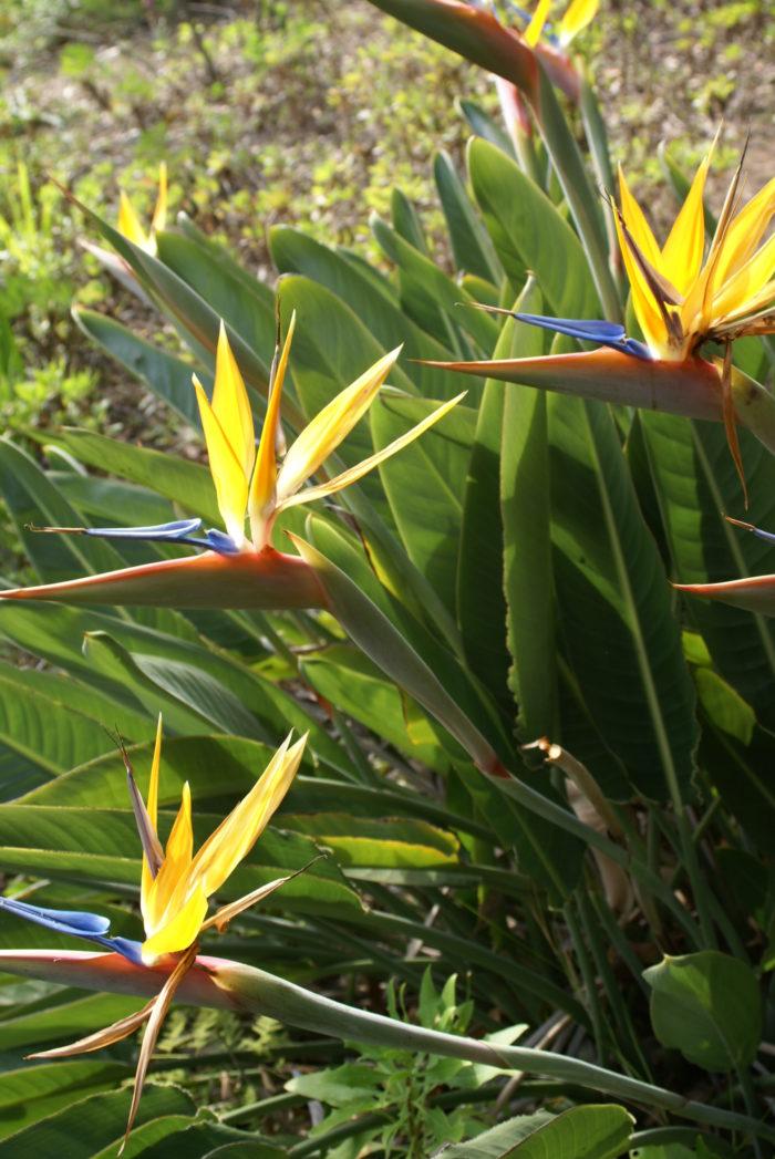 Strelizia-reginae-fleur-domaine-du-rayol