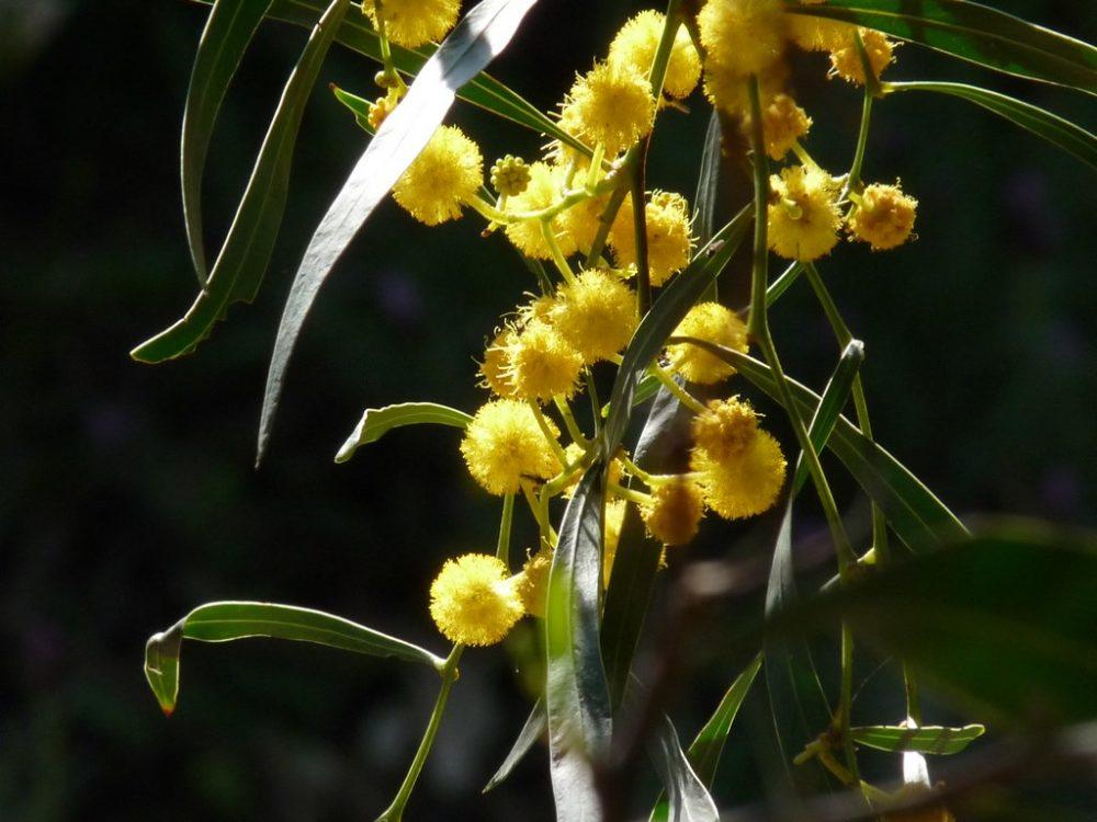 La plante du mois : Le mimosa