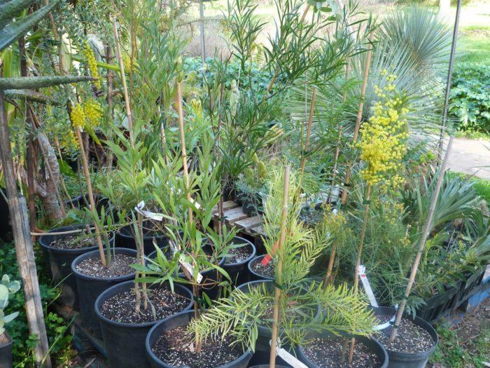 conseil-jardiniers-mimosa (1)