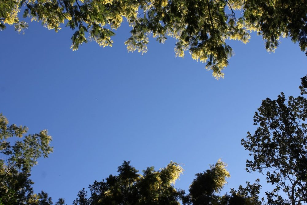 Le conseil des jardiniers : cultiver son mimosa