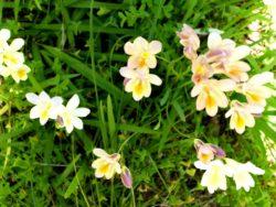 freesia-plante-du-mois-domaine-du-rayol