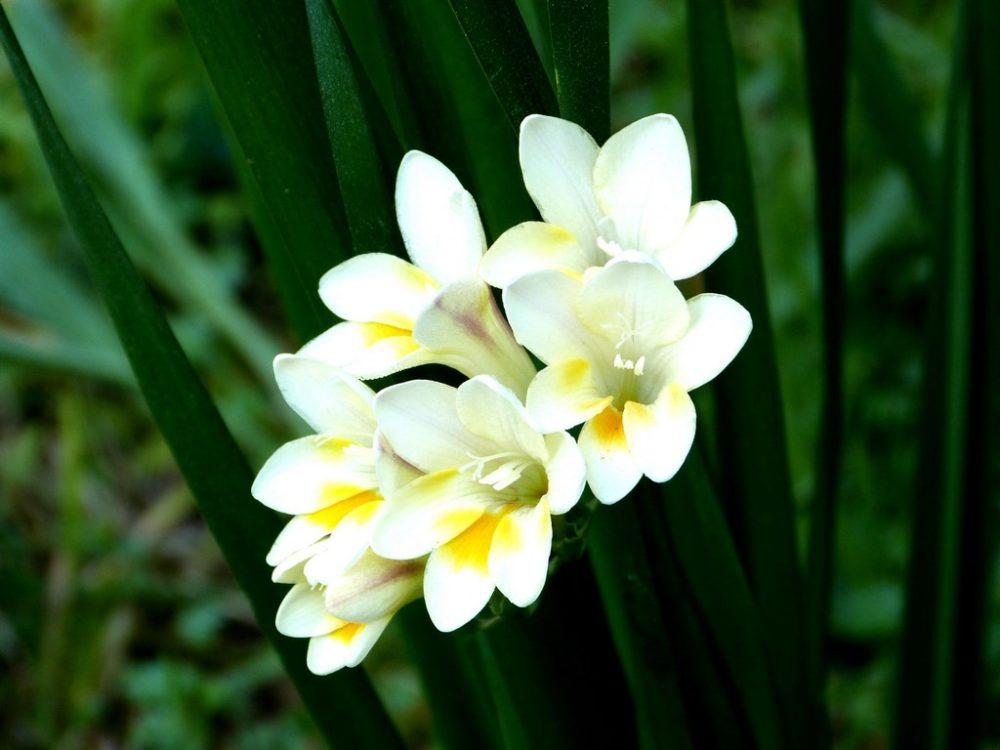 La plante du mois : Freesia