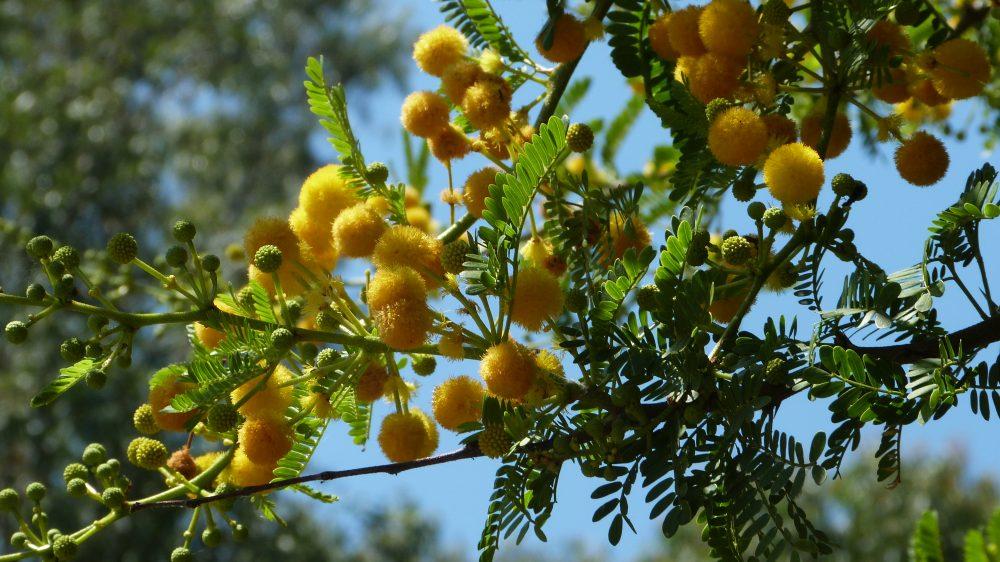 La Plante Du Mois Acacia Karroo Domaine Du Rayol