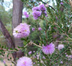 Melaleuca nesophila