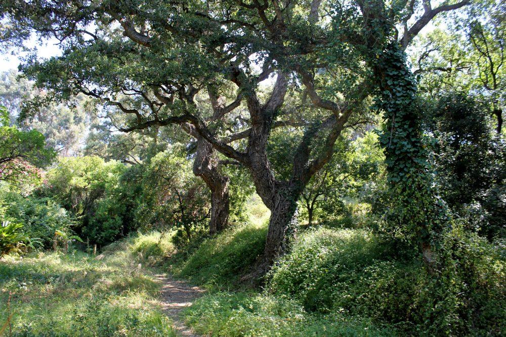 La plante du mois : Quercus suber