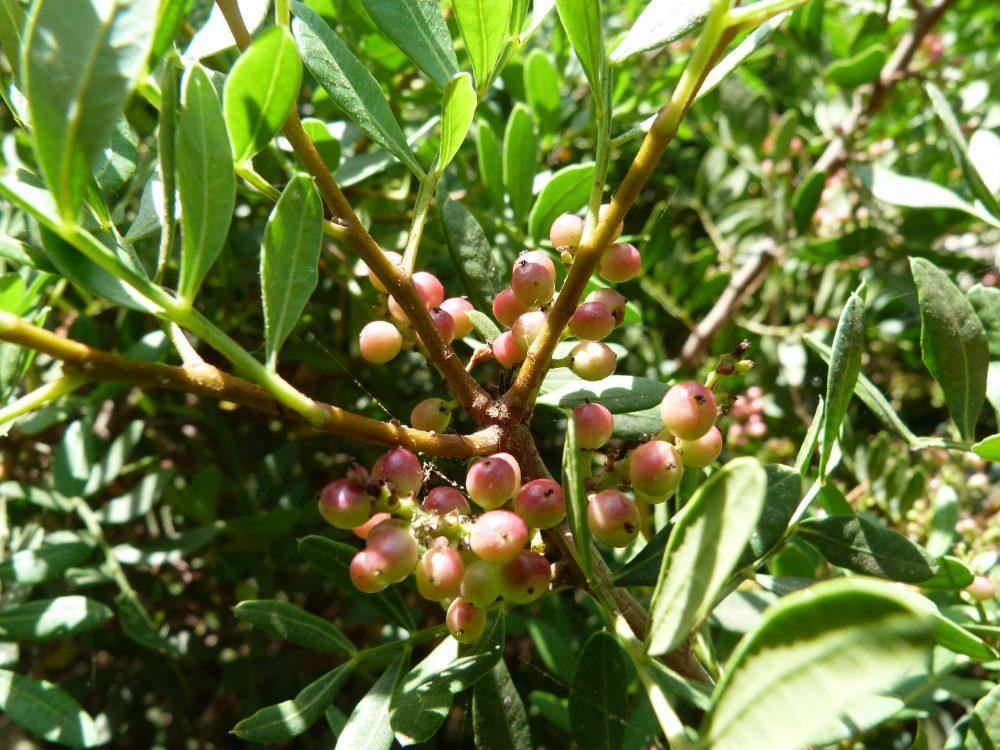 La plante du mois : Pistacia lentiscus