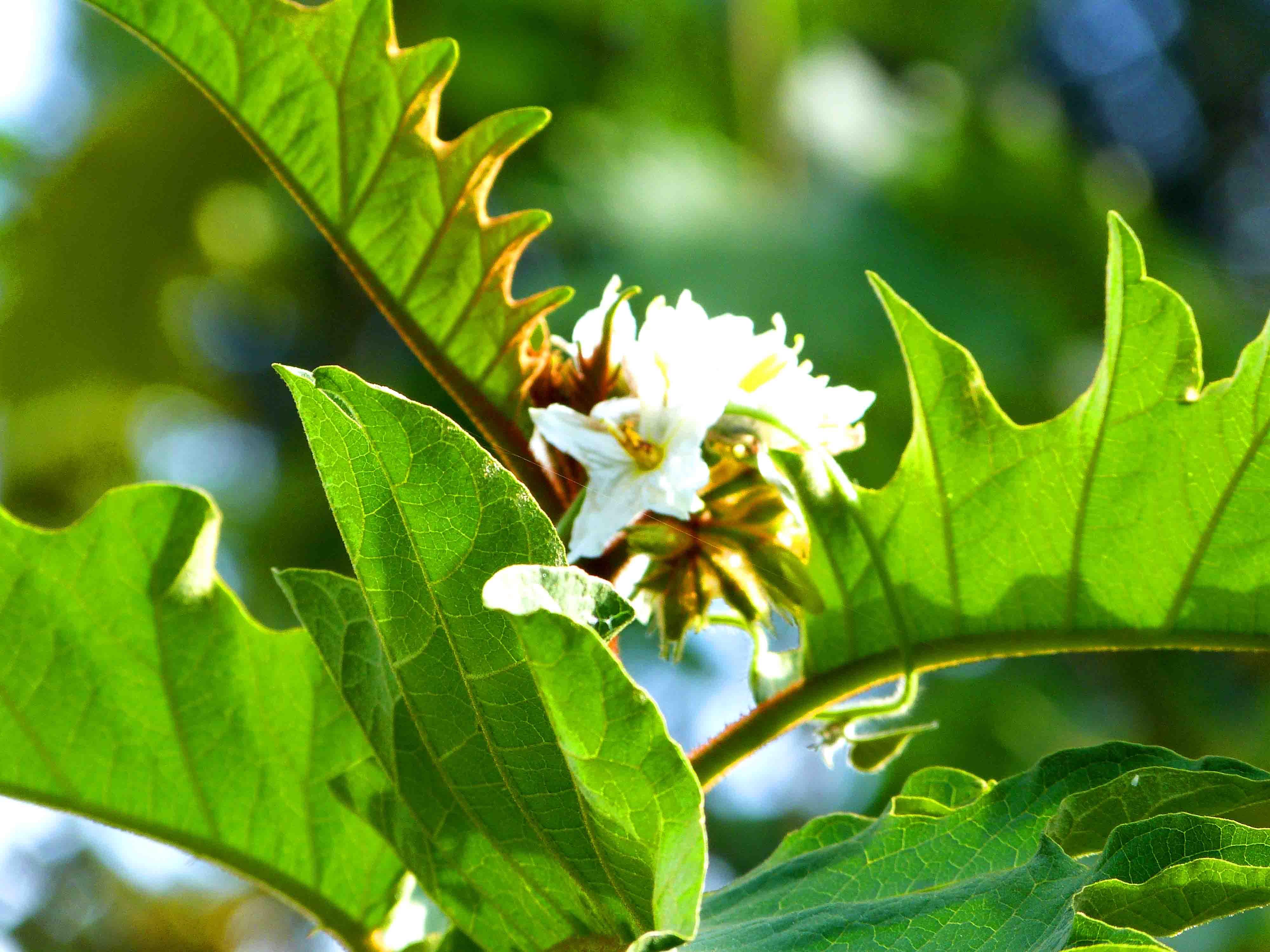 La plante du mois : Solanum chrysotrichum