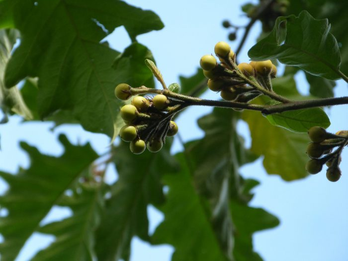Solanum chrysotrichum - fruits