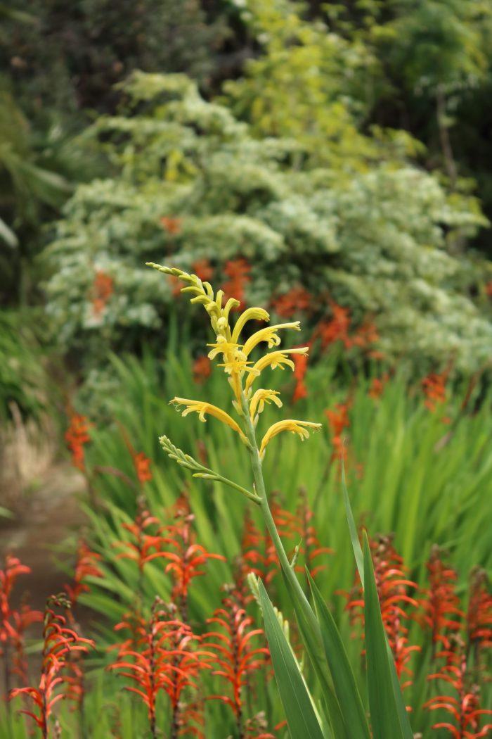 Chasmanthes, jardin d'Afrique du Sud