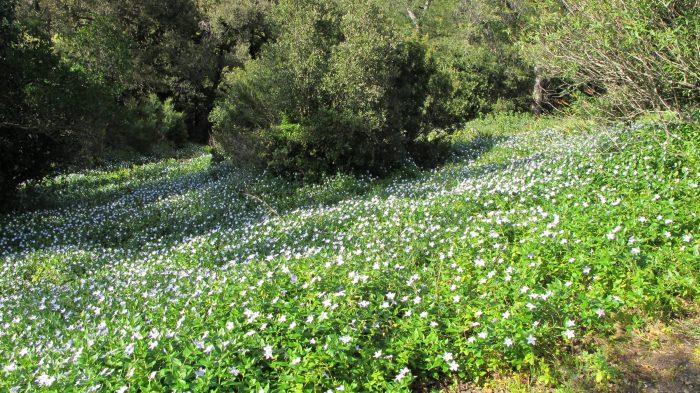 Les pervenches peuvent former un fabuleux couvre-sol comme ici face au jardin du Chili