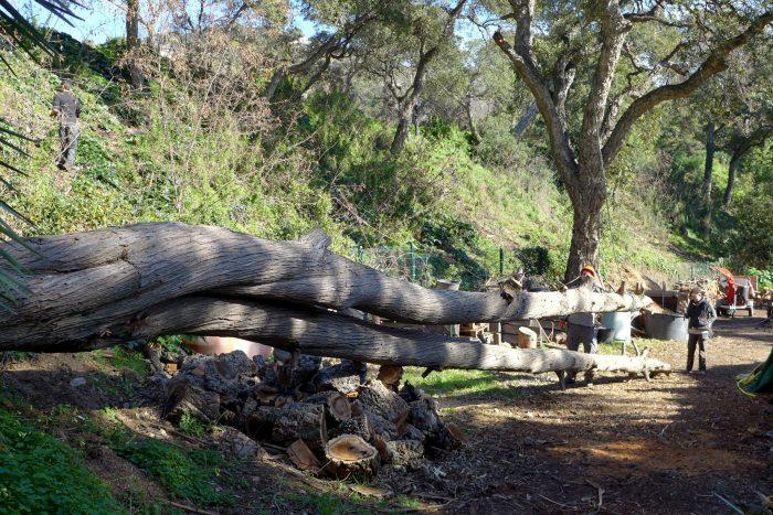 Un cyprès mort bientôt transformé en bancs