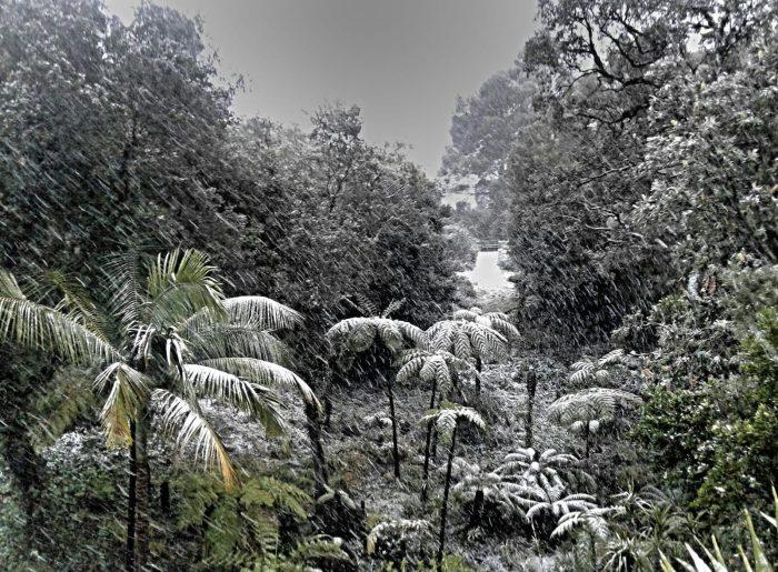 Les fougères arborescentes sous la neige le 26 février dernier
