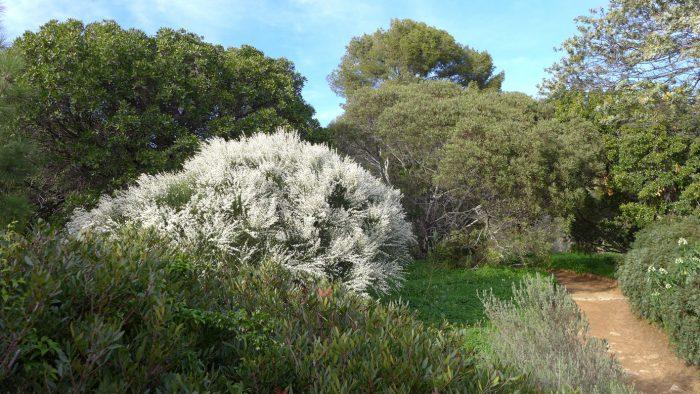 Le Retama monosperma, originaire des Canaries, se couvre de fleurs blanches très parfumées au printemps