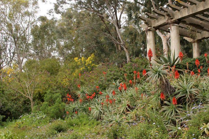 Les Aloe arborescens et leur floraison rouge flamboyante