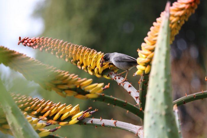 Cette fauvette déguste le nectar de l'Aloe marlothii