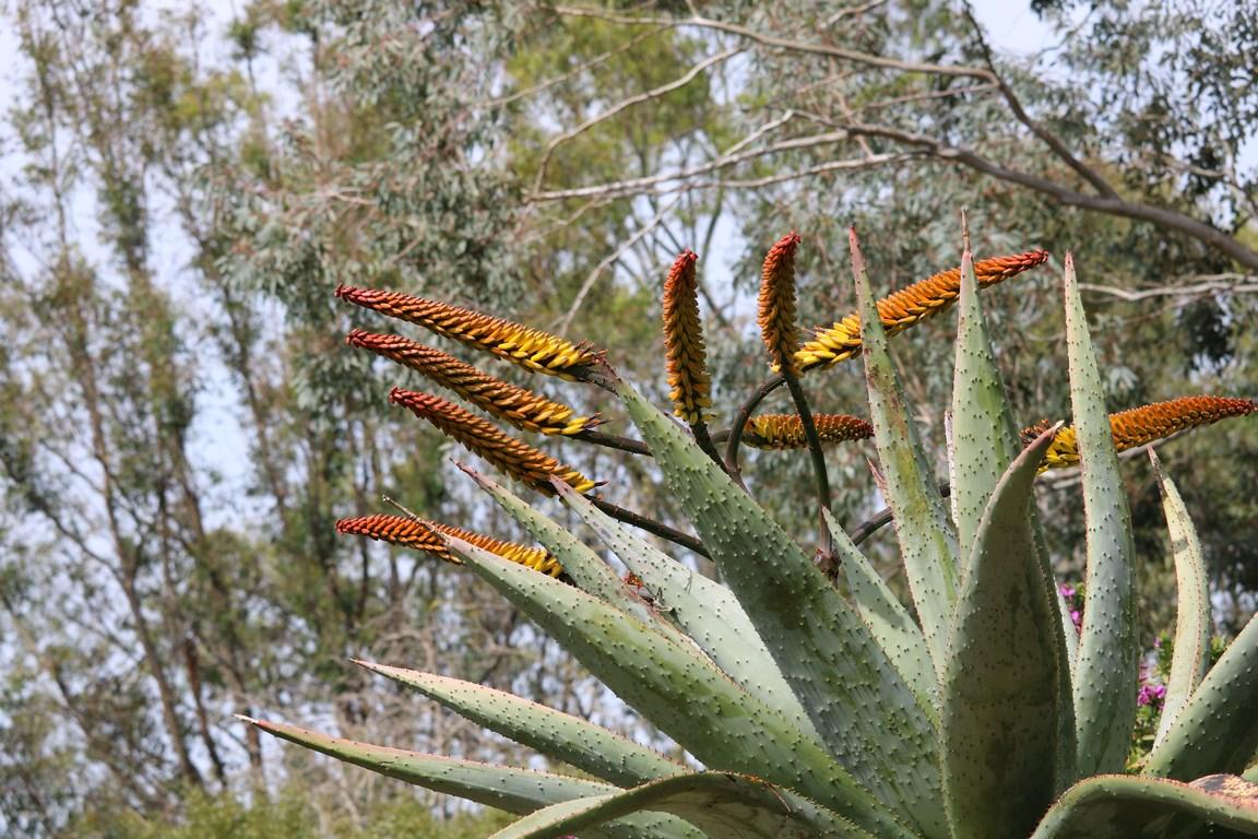La plante du mois : Aloe marlothii