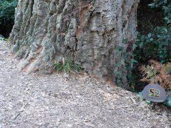 Les feuilles tombées à terre forment un tapis au pied du majestueux chêne-liège