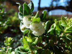 Floraison du Luma chequen (myrthe du Chili)