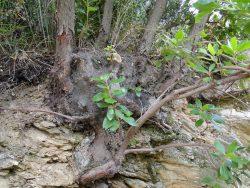 Lignotuber d'Arbutus unedo