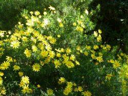 Euryops en fleur dans le jardin d'Afrique du Sud