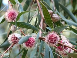Fleurs d'Hakea laurina, dans le jardin d'Australie