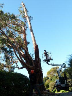 Elagage du grand eucalyptus