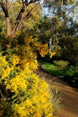 Mimosas dans le jardin d'Australie