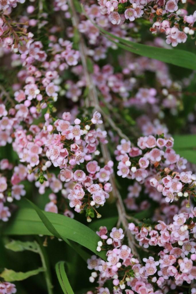 La plante du mois : Thryptomene saxicola