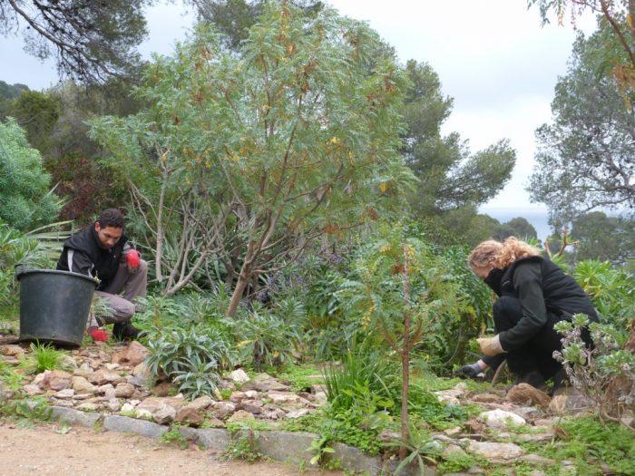 Désherbage manuel dans le jardin des Canaries