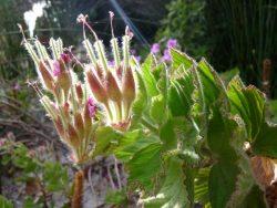 Pelargonium cuculatum