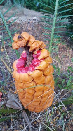 Encephalartos altensteinii