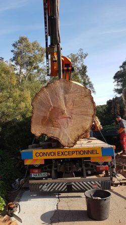12 - Démontage eucalyptus