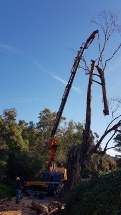 Démontage eucalyptus