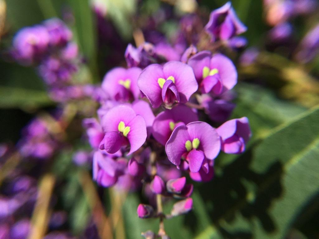La plante du mois : Hardenbergia violacea