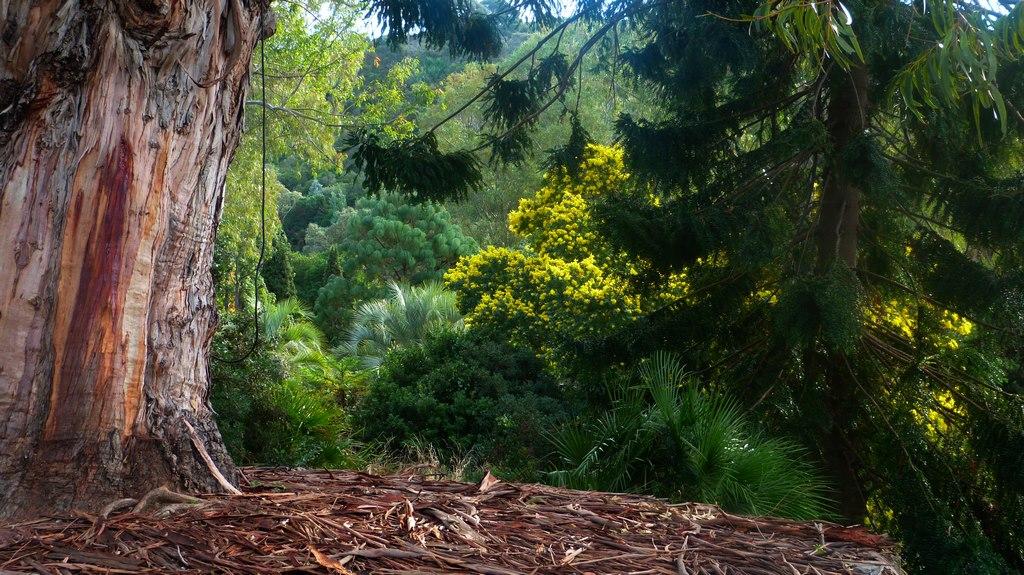 En ce moment au jardin : le grand Eucalyptus est mort