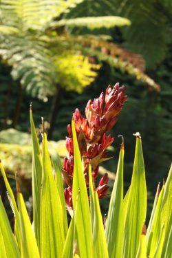 Doryanthes palmeri