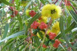 Eucalyptus erythocorys