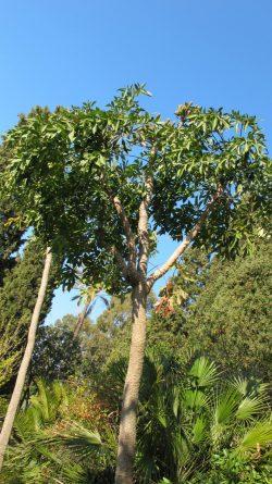 Cussonia paniculata, Jardin d'Afrique du Sud