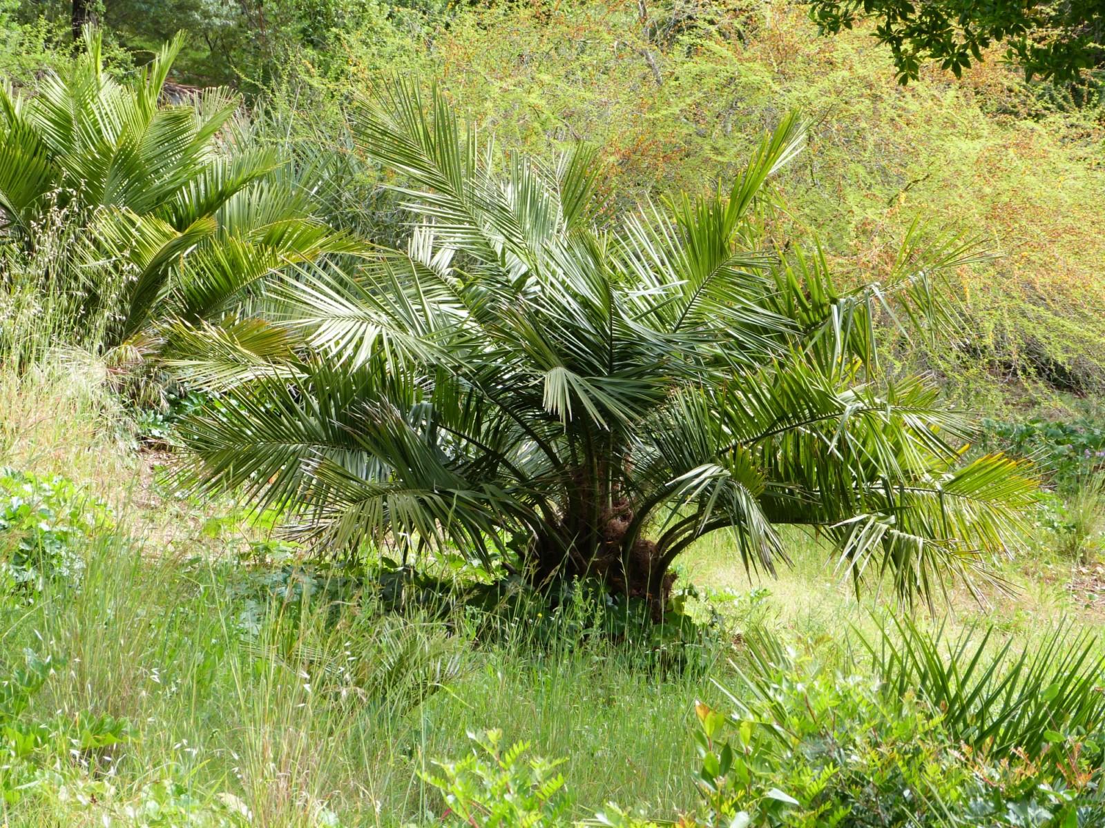 La plante du mois : Jubaea chilensis