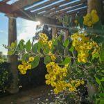 L'hiver au Jardin des Méditerranées - mimosas sous la pergola