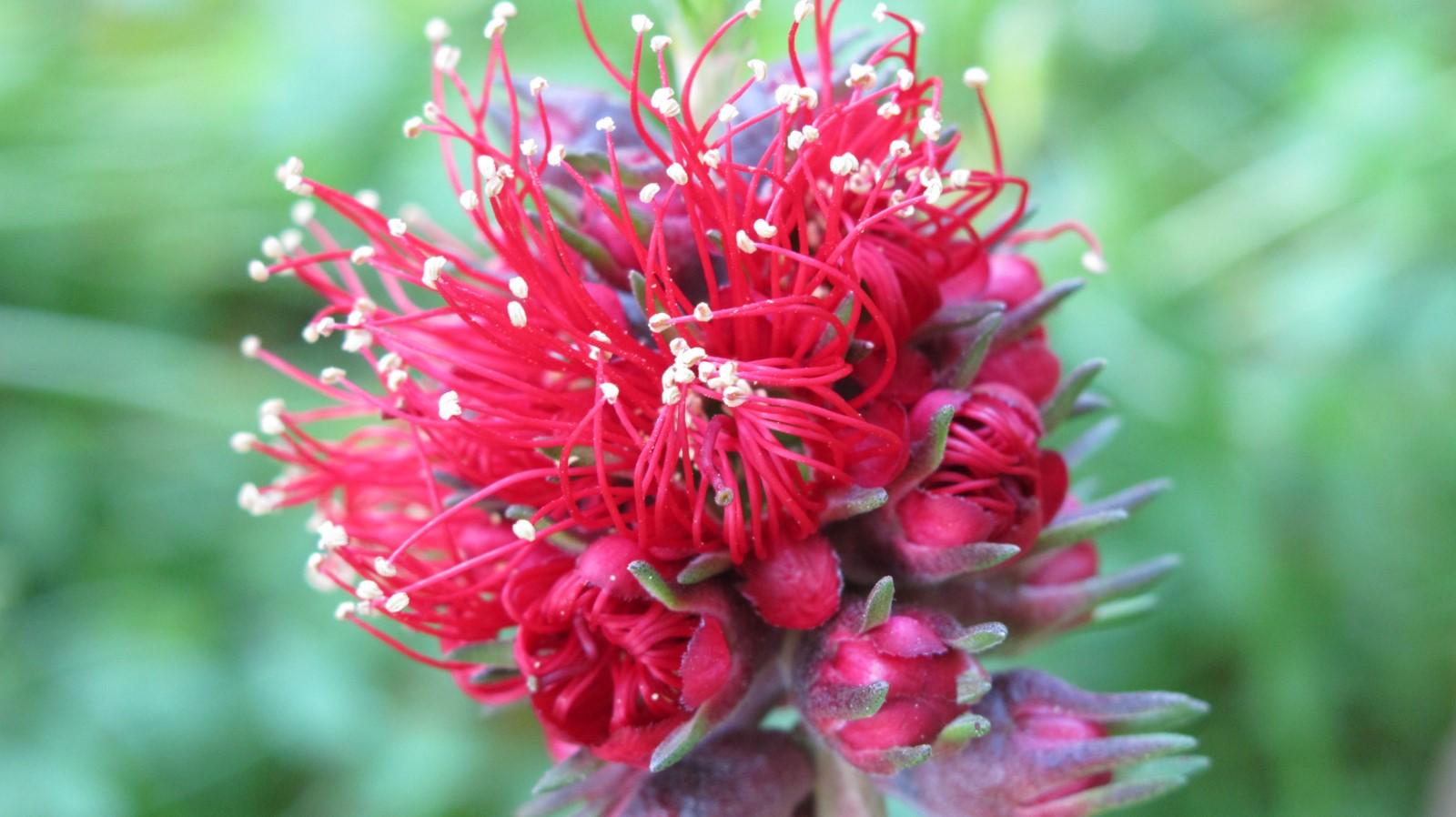 La plante du mois : Kunzea baxteri