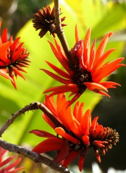 Erythrina lysistemon, Jardin d'Afrique du Sud