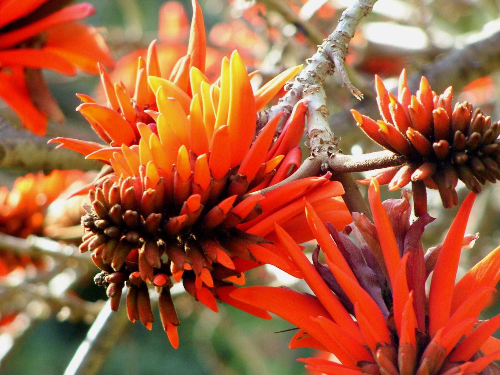 La plante du mois : Erythrina lysistemon