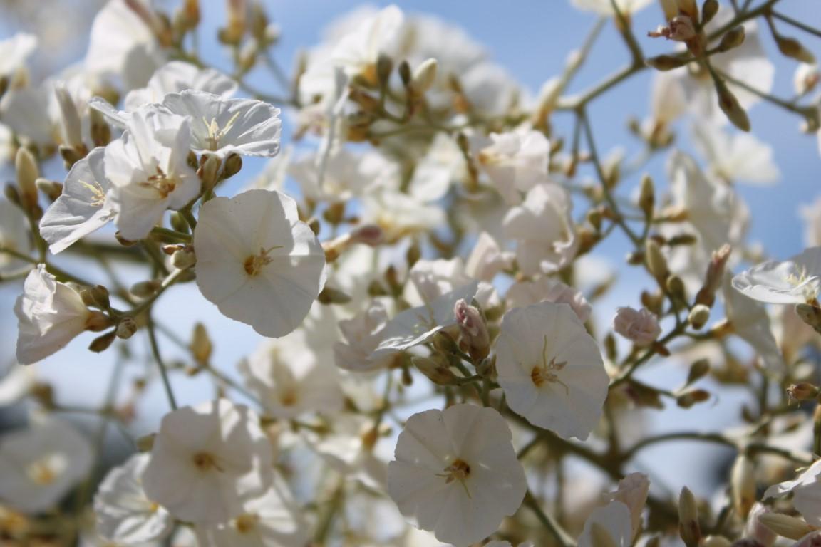 La plante du mois :  Convolvulus floridus