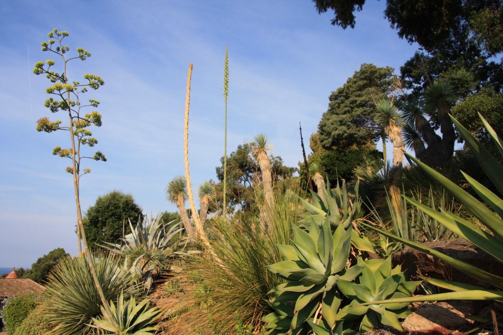 Focus : Les plantes monocarpiques : elles n'ont qu'une seule vie… ou pas !