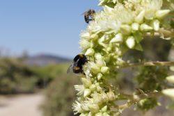 Pollinisateurs sur agave